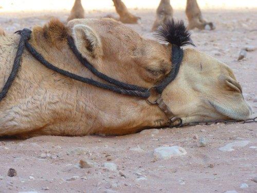 疲れ切ったラクダ
