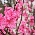 ひな祭りの桃の花の飾り方。春のアレンジメントとなんちゃって生け花