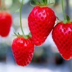 イチゴ狩り成功のコツ。農園の選び方とイチゴの美味しい時期と時間