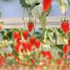 イチゴ狩り千葉の断トツおすすめは成東エリア!人気の秘密と料金設定