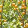 あんずの種の効能と利用法。本格的な杏仁豆腐の作り方と簡単杏仁酒