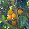 びわの果実で作る3大保存食。コンポート&ジャム&びわ酒の作り方
