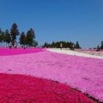 芝桜の名所関東のおすすめスポット5選!見頃の時期は?花言葉は?