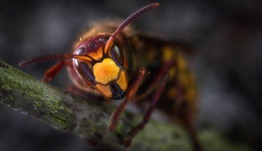 【スズメバチ】なんであんなに怖いの?羽音とか顔とか・・・恐ろしすぎる。