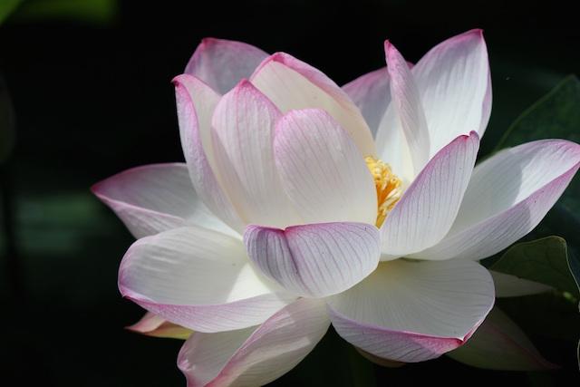 Lotus Single