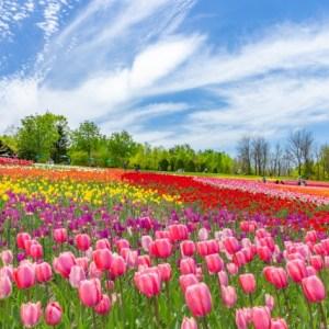 3月の誕生花はアネモネ?スイートピー?スミレ?花言葉と一覧でご紹介です