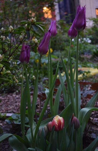 Tulips 8