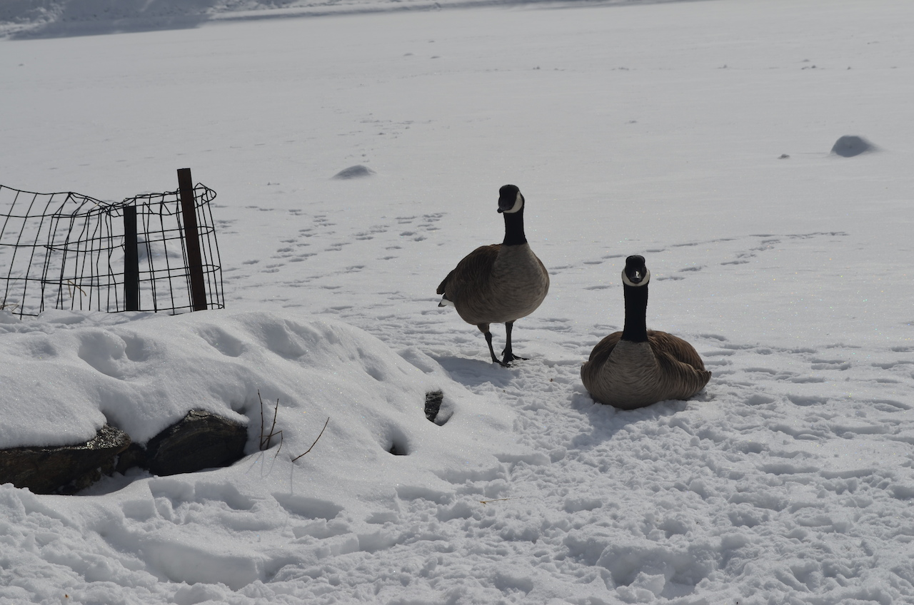 Geese Friends in Central Park Winter 2014 at The Meer