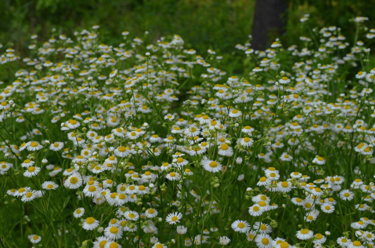 Field of Daisy's in Central Park
