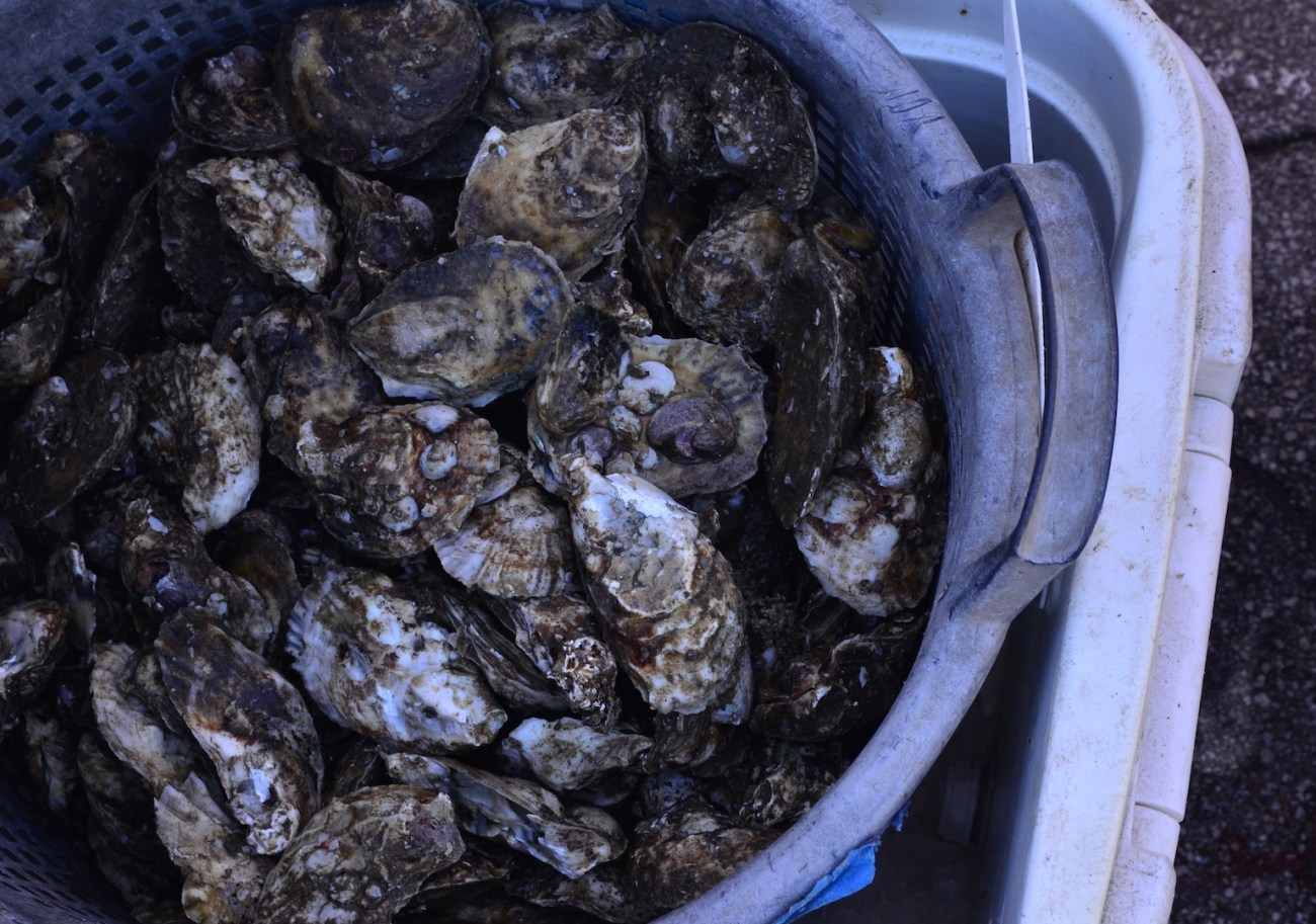 Long Island Oysters