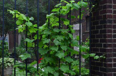 Grape Vines In Brooklyn Heights