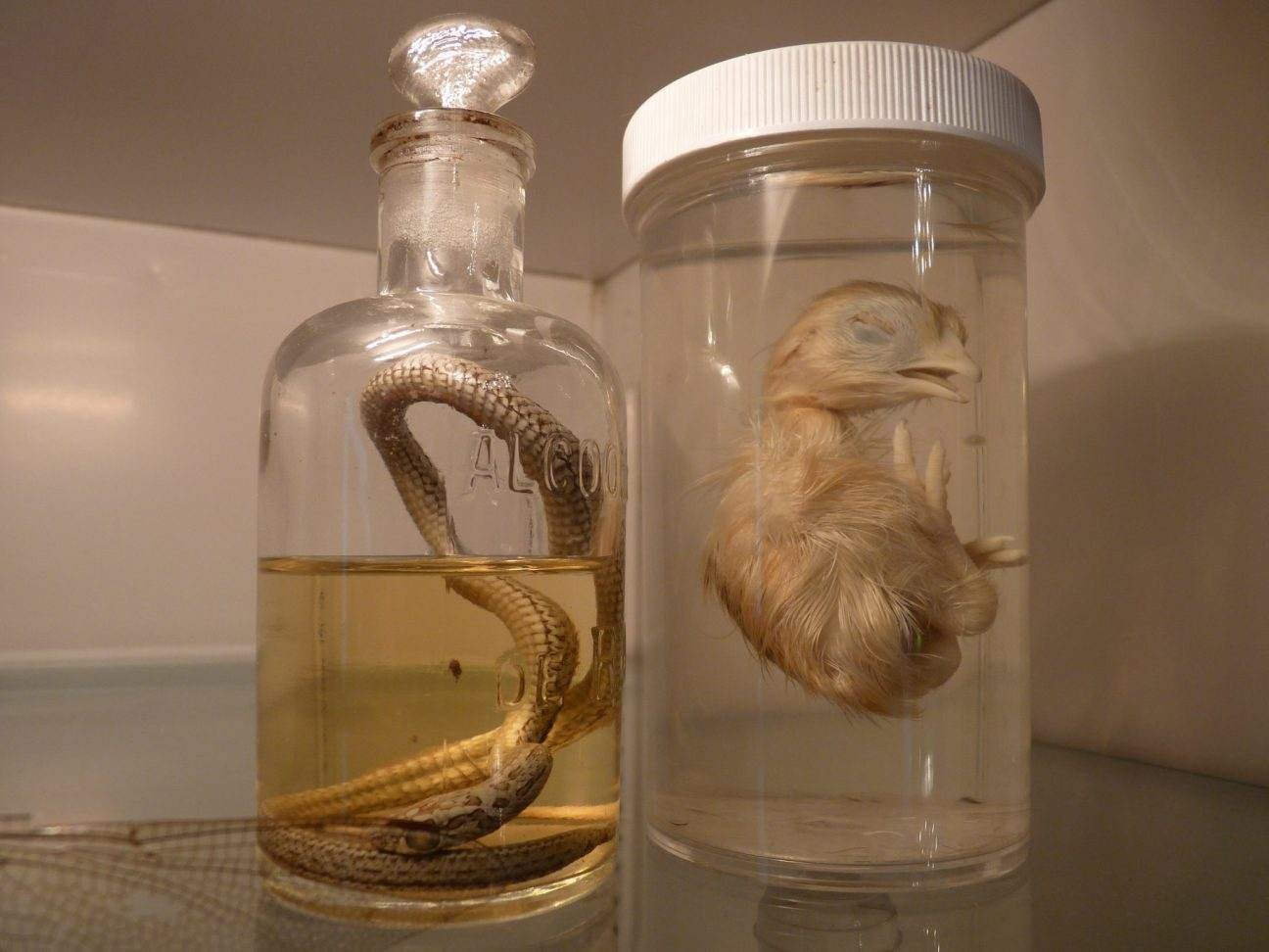 Pickled Snake and Chicken At The Morbid Anatomy Museum - Gowanus Brooklyn