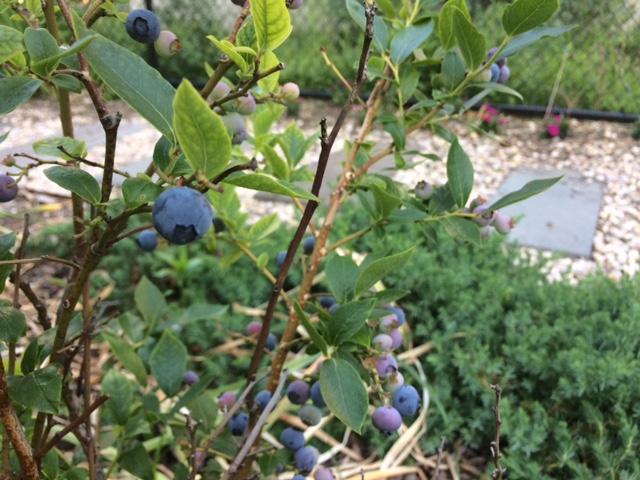 Harlem Blueberries