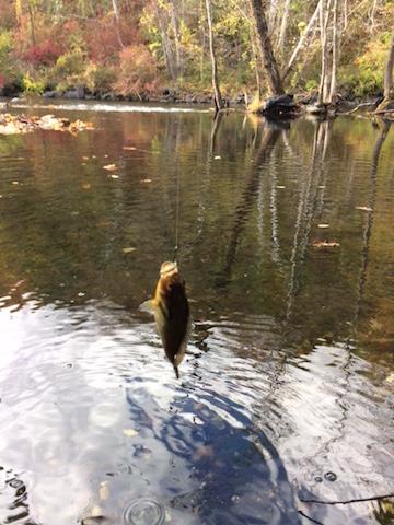 Croton River Bluegill