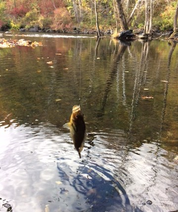 Croton River Bluegill