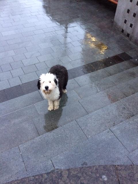 old-english-sheepdog-in-iceland