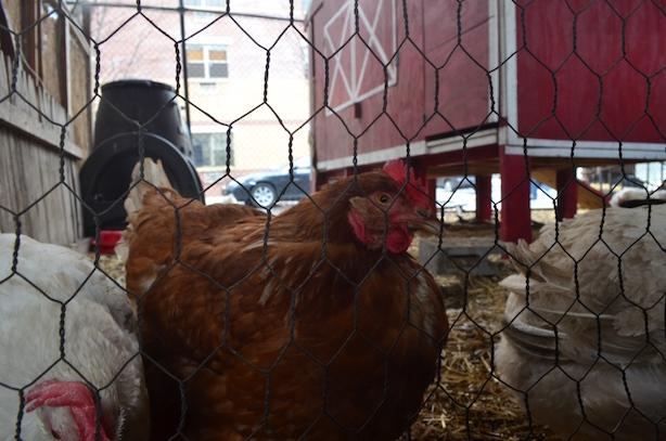 Chicken Coop New York City