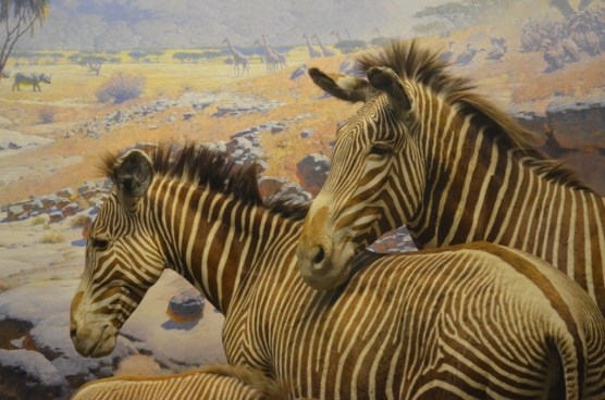 Zebras at the american natural history museum