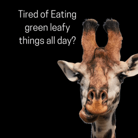 giraff eating