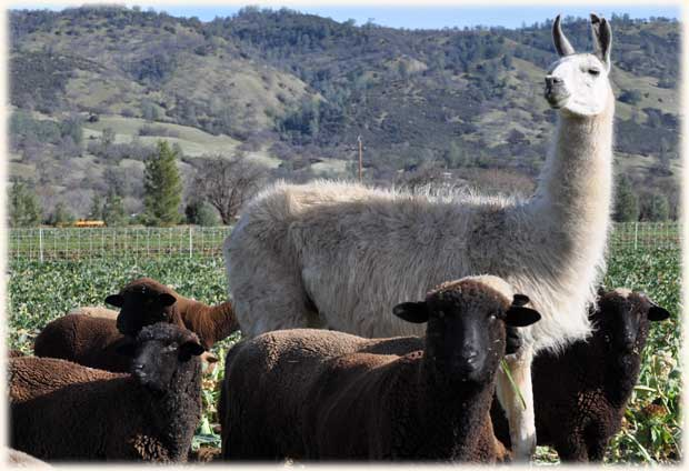 sheep-w-llama