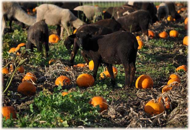 sheep_pumpkins