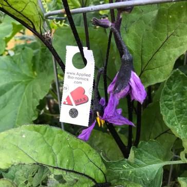 Applied BioNomics encarsia max on eggplant