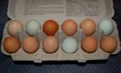 farm fresh organically raised eggs
