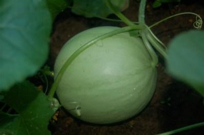 young cantaloupe