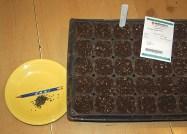 1st seeding-green onions