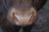 nose dew