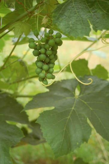 baby grapes