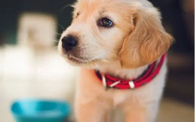 FDA Alert – Canine Heart Disease From Dog Food