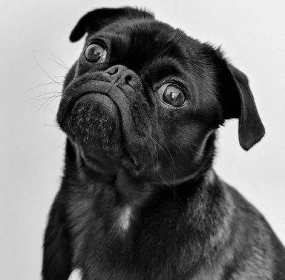 Black Pug Waiting for Rescue
