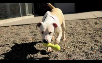 Pit Bull Awareness Month 2018 – Myths vs Facts
