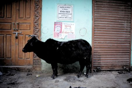 018 MANIKARAN black cow