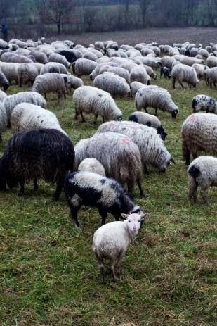 Bosna i Hercegovina / nomadic sheeps