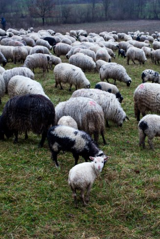 Bosna i Hercegovina / nomadic sheeps