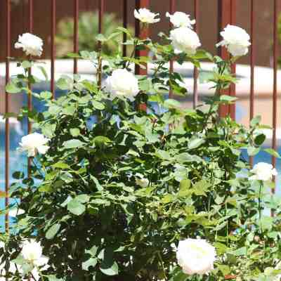 How To Get Rid Of Aphids On Your Roses Naturally