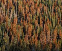 Colorado's Great Tree Die-Off