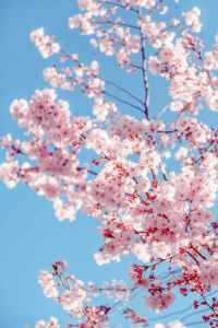 Greta Thunberg is trying to save beauty such as this sakura tree in full blossom.