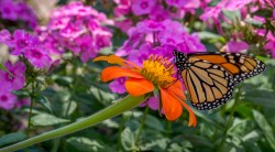 The monarch butterflies were out and about at the Botanic Garden