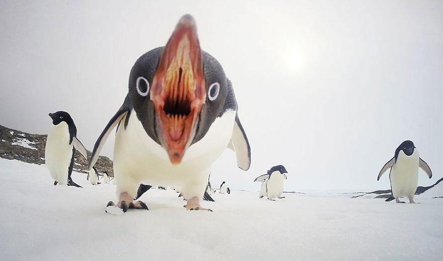 1 Когда пингвины атакуют, Антарктида. Фото: Sea Berry.