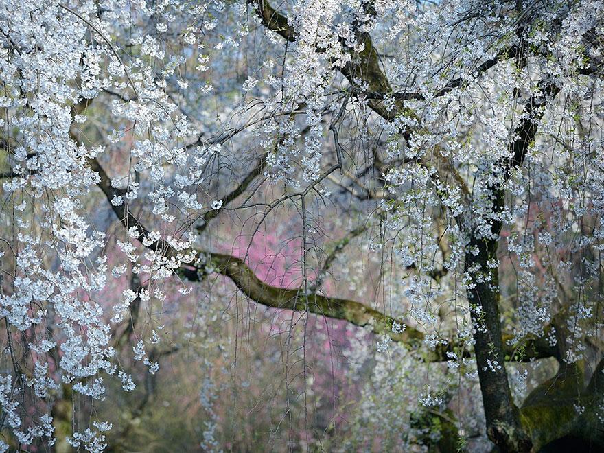 19. Цветение, Япония. Фото: Юкио Мики.