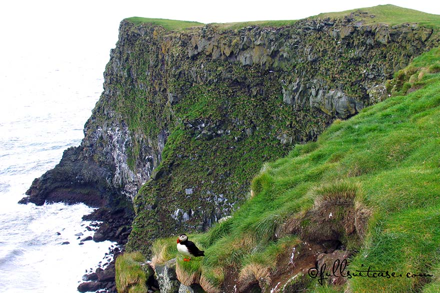 Puffin on a cliff at a coast in Southern Iceland