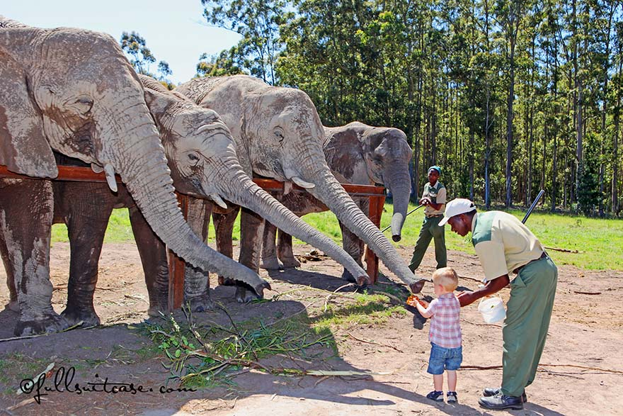 Little boy is feeding elephants at Knysna Elephant park