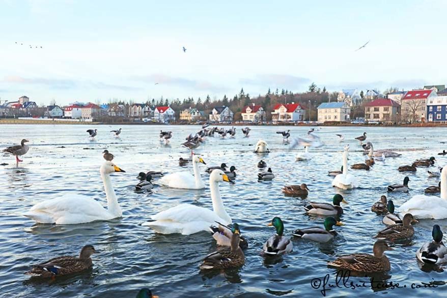 Birds in Tjörnin lake (REYKJAVÍKURTJÖRN), downtown Reykjavik Iceland