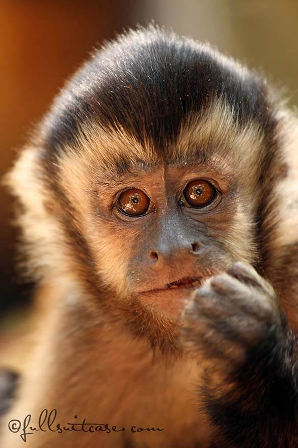 A monkey at the Monkeyland Primate Sanctuary on the Garden Route