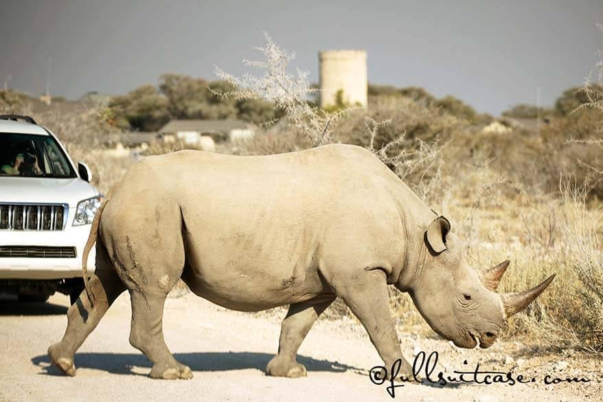Black rhino crossing the road at Okaukuejo in Etosha