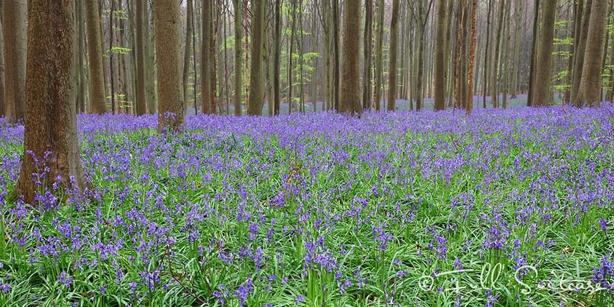 Hallerbos is famous for its purple carpet of bluebells