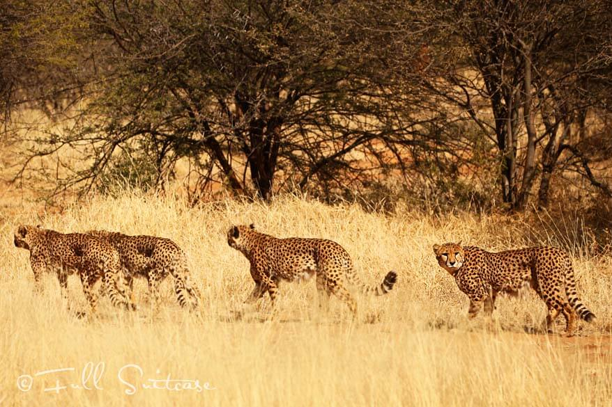 Cheetah Conservation Fund Namibia